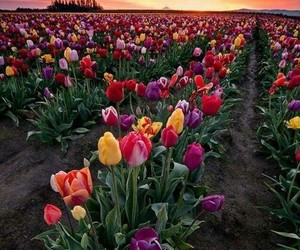 colors, flowers, and tulip image