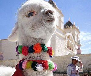 alpaca, colors, and animal image