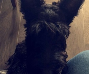 scottie, dogs, and puppy image