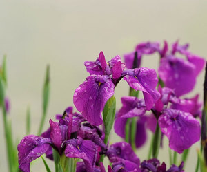 flower, iris, and purple image