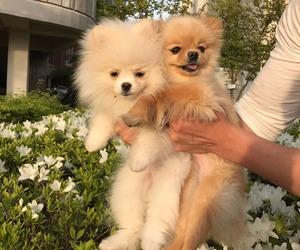 adorable, animals, and pomeranian image