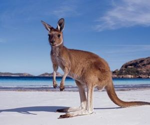 animal, beach, and kangaroo image