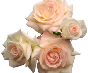 flowers, rose, and transparent image