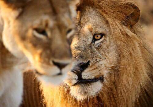 lion, animal, and lioness image