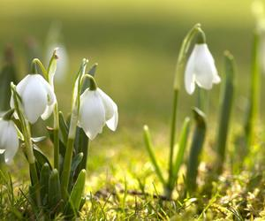 spring and snowdrop image