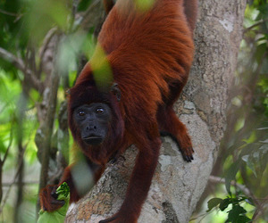 animals, monkies, and howler monkey image