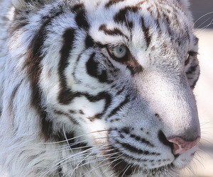 animals, tigers, and white tiger image