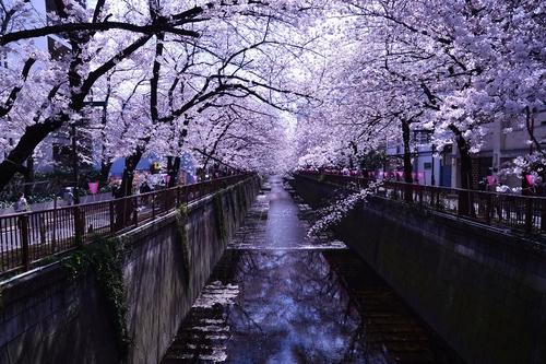 japan, article, and sakura image