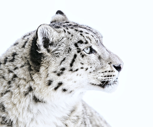 leopard, picture, and snow image