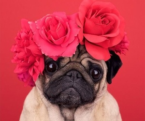 pink, pug, and puglife image