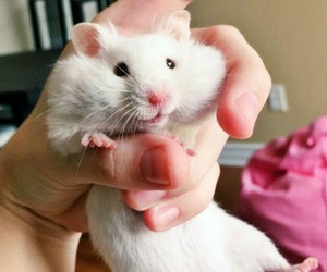 animals, funny, and hamster image
