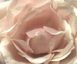 beige, rose, and flower image