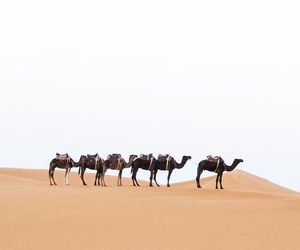 camels, desert, and morocco image