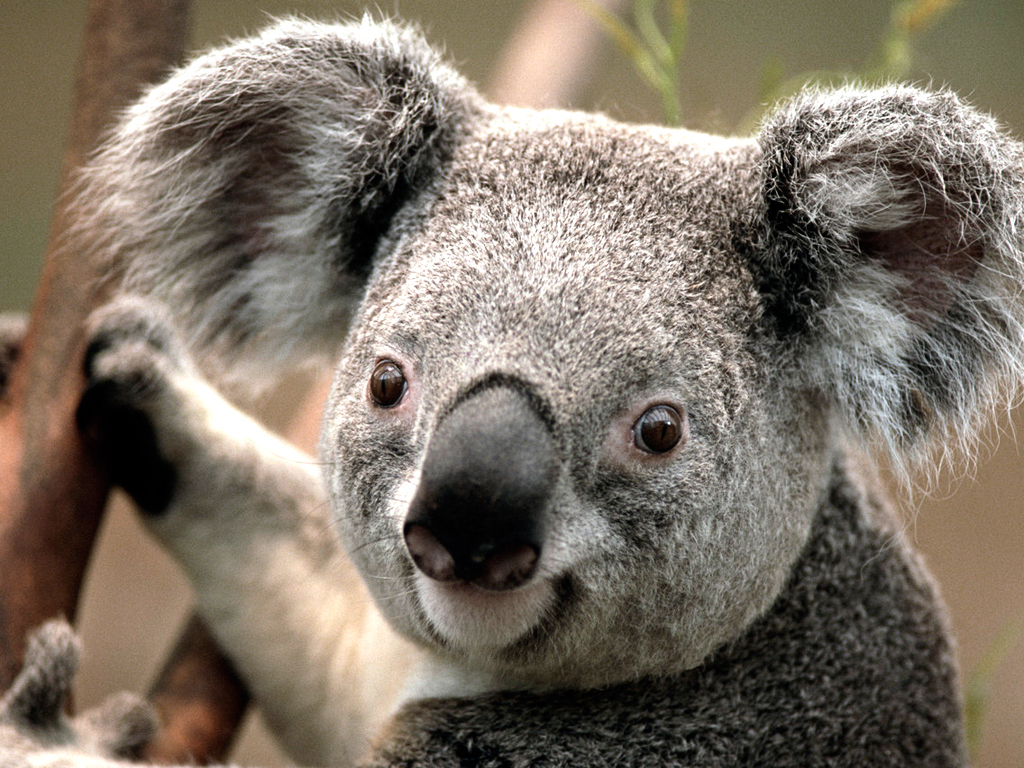 article and Koala image