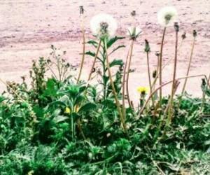flores, naturaleza, and dientes de leon image