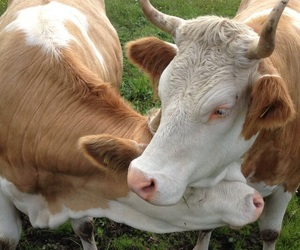animals, cows, and love image