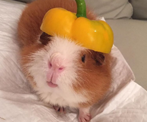 food, fun, and guinea pig image