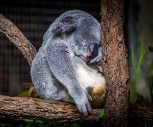 nature, tree, and koala bear image