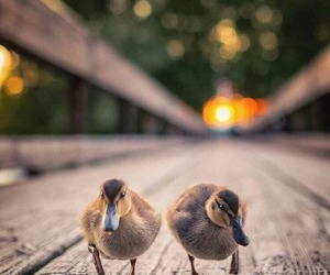 country life, ducklings, and farm image