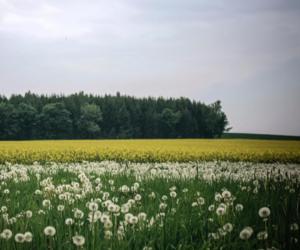 beautiful, dandelion, and meadow image