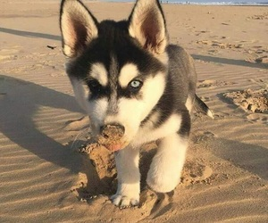 puppy, dog, and husky image