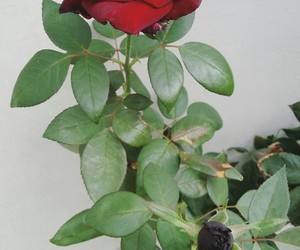 aesthetic, art, and black rose image