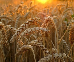 nature, wheat, and grain image