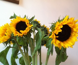 sunflower and my photo image
