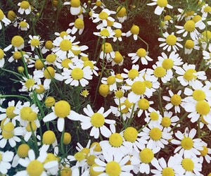 beauty, daisy, and flower image