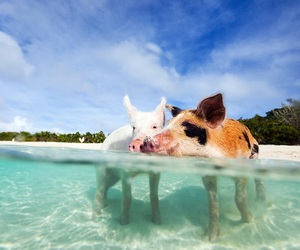 pigs and bahamas image