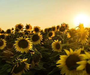 sunflower, yellow, and sun image