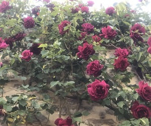 photo, photographie, and rose image