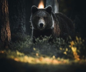bear, forest, and beautiful image