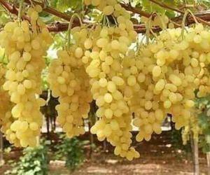 fruit, grape, and yamy image