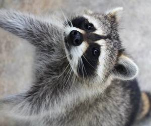 baby, raccoon, and cute image