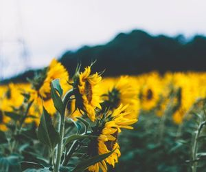 flowers, sunflower, and garden image