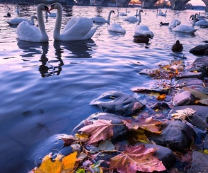 autumn, river, and geese image