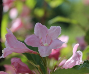 fiori, flower, and pink image