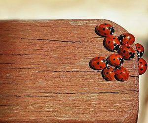 ladybug, lovebug, and photography image