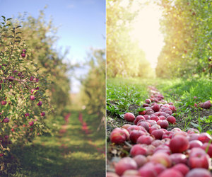 apple, apples, and canada image