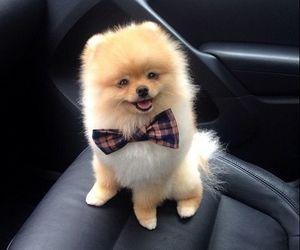dog, puppy, and pomeranian image