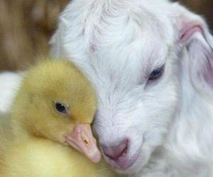 animal and goat image