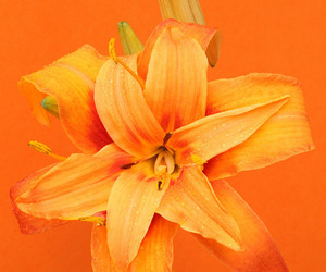 flowers, lily, and orange image