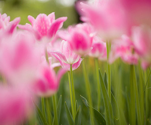 flower, nature, and tulips image