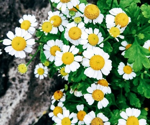 chamomile, daisies, and flowers image