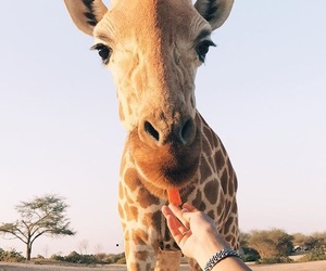 animal, cute, and giraffe image