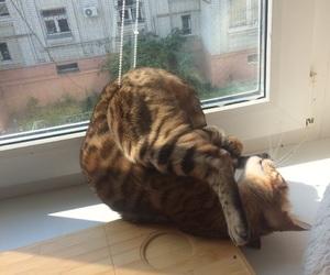 bengal cat, cat, and crazy image