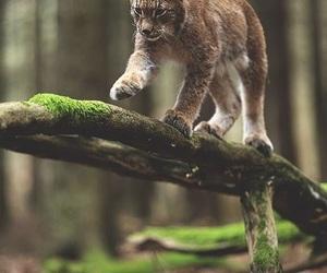 animal and lynx image
