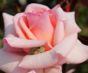frog, rose, and flowers image
