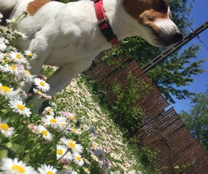 daises, summer, and dog image